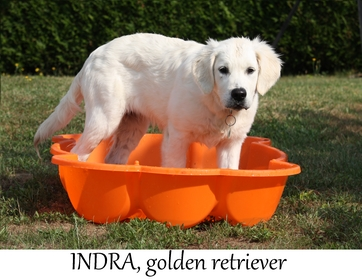 comportement du golden retriever